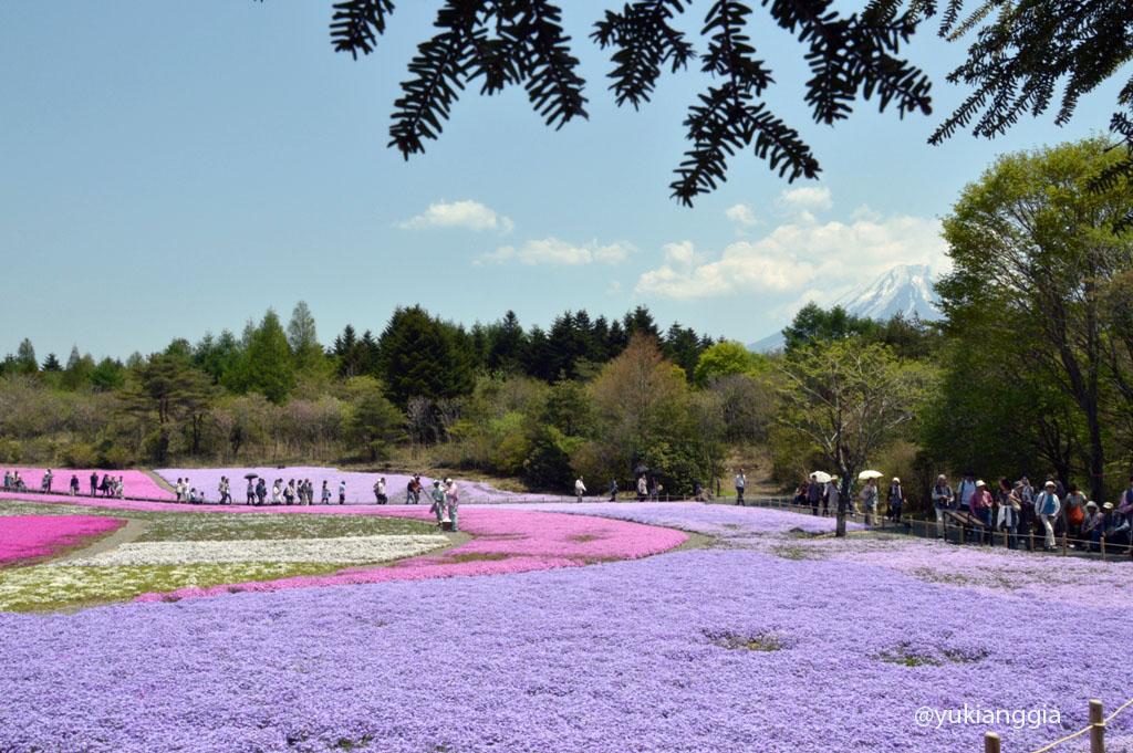 Selamat datang di Festival Fuji Shibazakura!