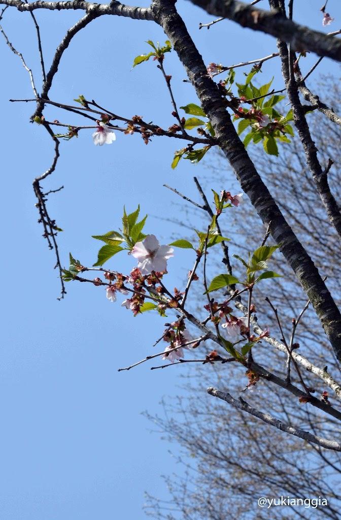 Bunga Sakura yang dijual di Glodok pas Imlek