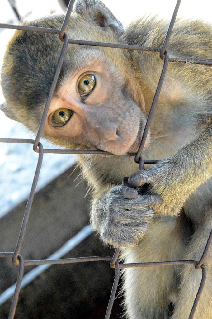 Monyet endemik Moyo. Kenapa dikandangin? :(