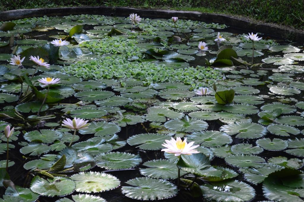 Taman bunga teratai