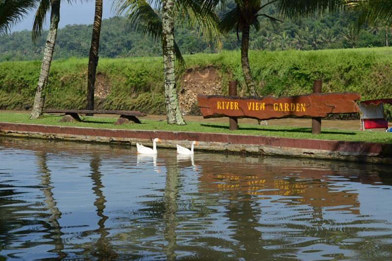 Sepasang angsa di kolam di sisi sungai