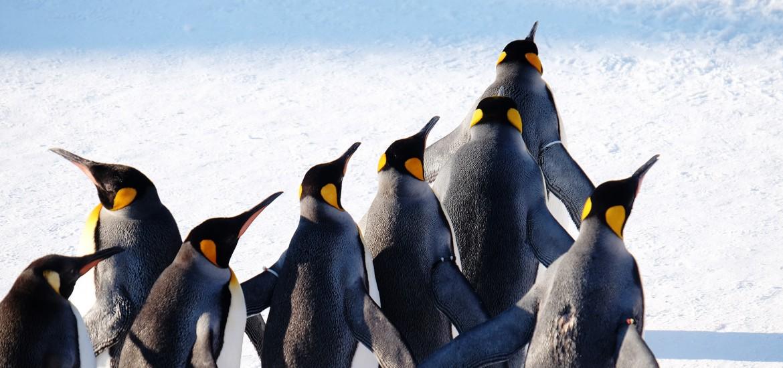 asahiyama zoo penguin walk