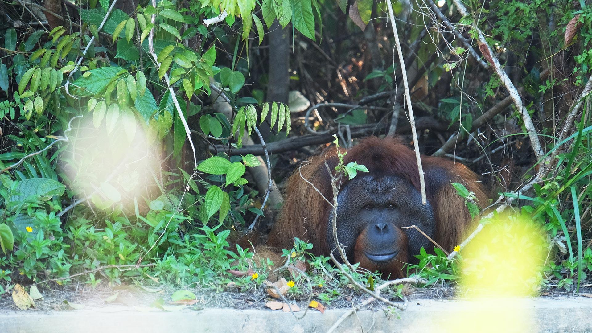 ohelterskelter.com orangutan